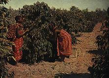 Kaffeepflücken in Deutsch- Ostafrika Die wertvollen, mit unendlichem Fleiß aufgebauten Pflanzungen wurden nach dem Kriege von den Engländern enteignet oder zu einem lächerlich geringen Preis - 3 v. H. des wirklichen Wertes! - versteigert.